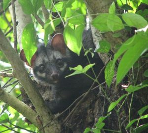 Asian_Palm_Civet_Over_A_Tree